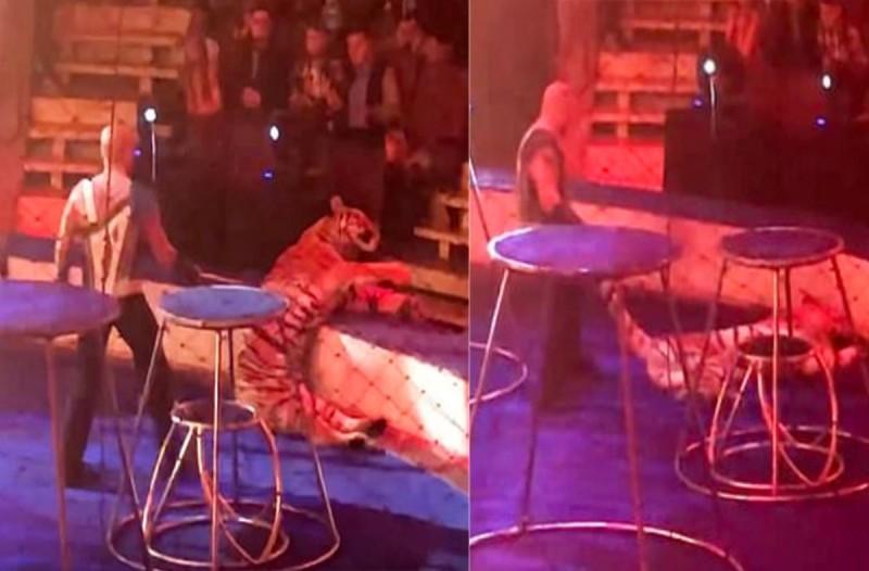 Τίγρης καταρρέει με σπασμούς όταν κάνει κόλπο σε τσίρκο...Τότε ο εκπαιδευτής κάνει κάτι που θα σας εξοργίσει!