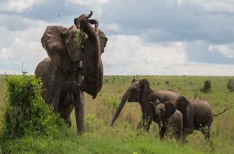 Τεράστιος βούβαλος επιτίθεται σε μικρό ελεφαντάκι -  Δεν θα πιστεύετε την οργισμένη αντίδραση της μαμάς του