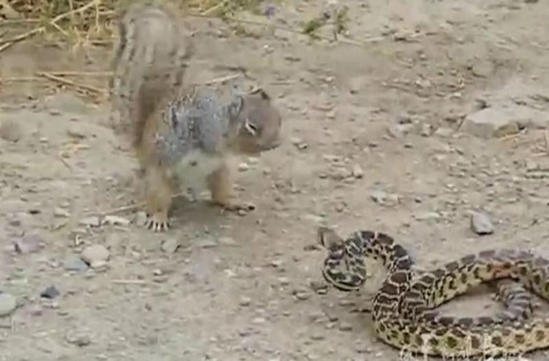 Επική μάχη ανάμεσα σε έναν σκίουρο και ένα φίδι - Η κατάληξη θα σας σοκάρει!