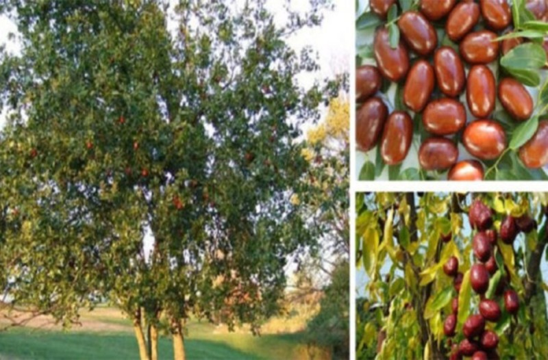 Τζιτζιφιά  - Το βότανο που θεραπεύει, βοηθάει να χάσεις κιλά και είναι γνωστό σαν δέντρο γιατρός