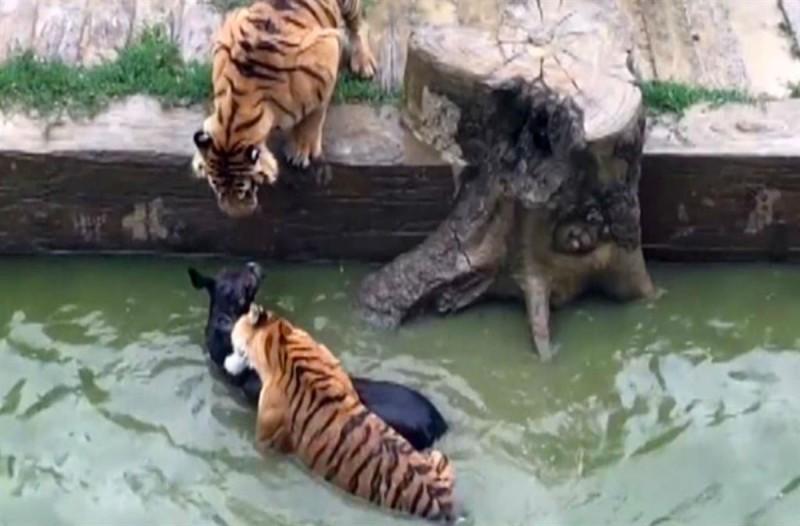 Πεινασμένες τίγρεις σε ζωολογικό κήπο κατασπαράζουν ένα γαϊδουράκι - Το βίντεο προκαλεί τρόμο!