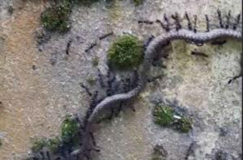 Ένα σμήνος από μυρμήγκια επιτέθηκε σε ένα φίδι - Ο νικητής της μάχης θα σας σοκάρει!