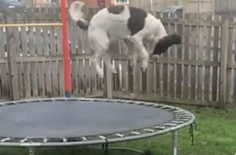 Αυτός ο σκύλος έγινε ενός έτους και του έκαναν δώρο ένα τραμπολίνο - Μόλις δείτε την αντίδρασή του θα