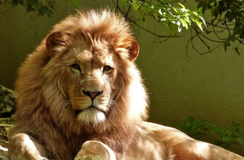 Μια λέαινα σκότωσε ένα λιοντάρι - Ο τρόπος που το έκανε θα σας σοκάρει