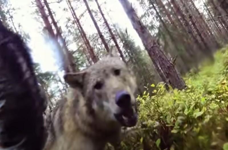 Κάμερα καταγράφει τη μάχη μιας σκυλίτσας με δύο λύκους!