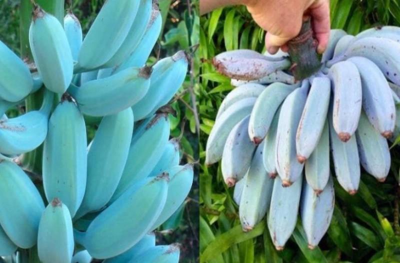 Τρελαίνεσαι για μπανάνες; Τότε πρέπει να δοκιμάσεις τις μπλε μπανάνες που θυμίζουν παγωτό