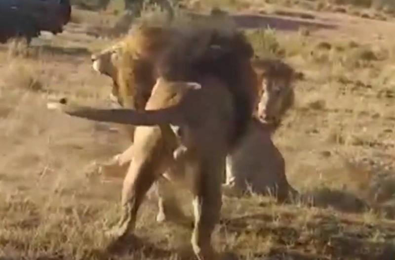 3 λιοντάρια μονομαχούν για την κυριαρχία της αγέλης