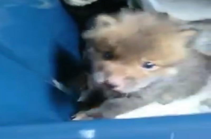 Πήρε σπίτι του κάτι που νόμιζε για κουτάβι αλλά αυτό δεν ήταν σκυλί... (Video)