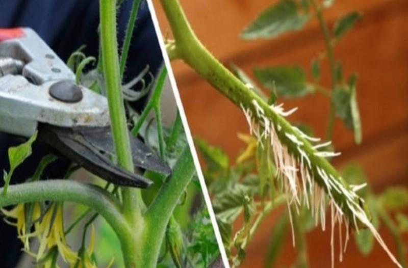 Ντομάτα: Γιατί ο πολλαπλασιασμός της με μοσχεύματα είναι πολύ καλύτερος από το να τις φυτέψετε με σπόρο