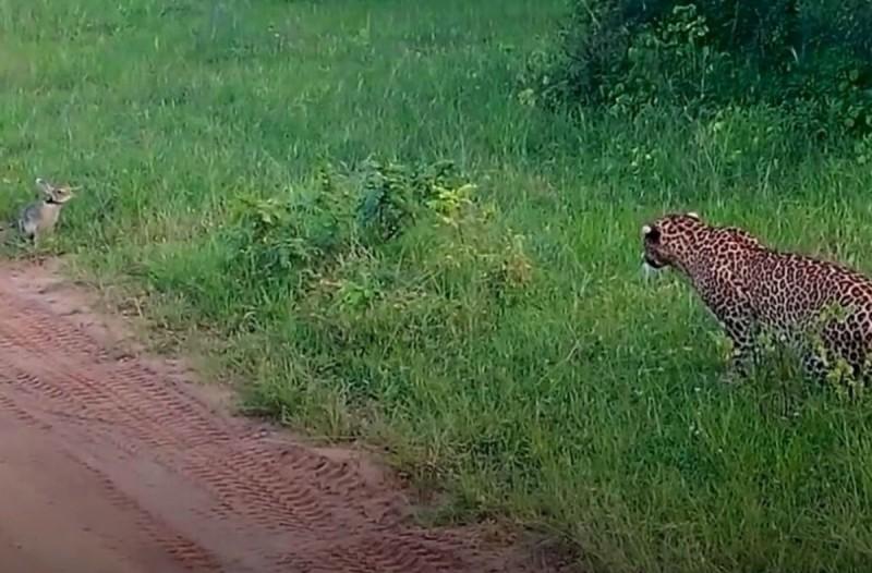 Λεοπάρδαλη ετοιμάζεται να ορμήξει σε κουνέλι - Η εξέλιξη σοκάρει... (Video)