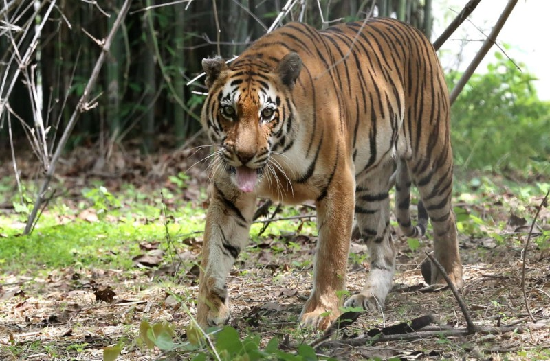 Αυτή η τίγρης το έσκασε από ένα ζωολογικό πάρκο - Μόλις δείτε που κάνει βόλτες θα πάθετε σοκ