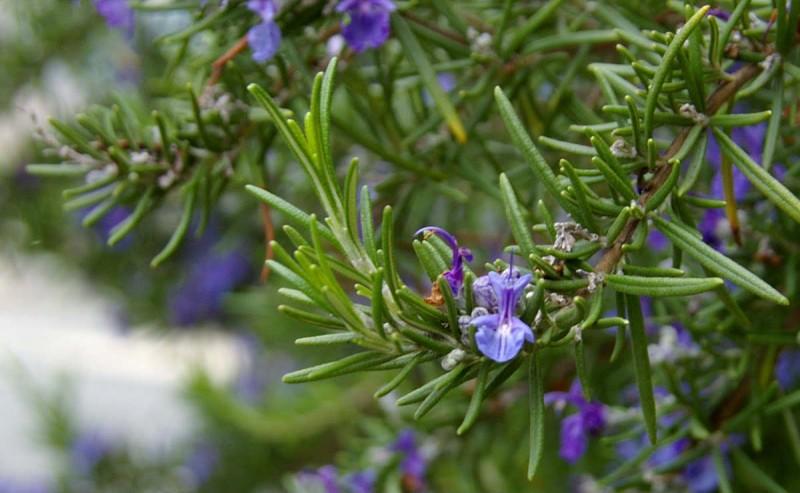 φυτά που απομακρύνουν τα κουνούπια