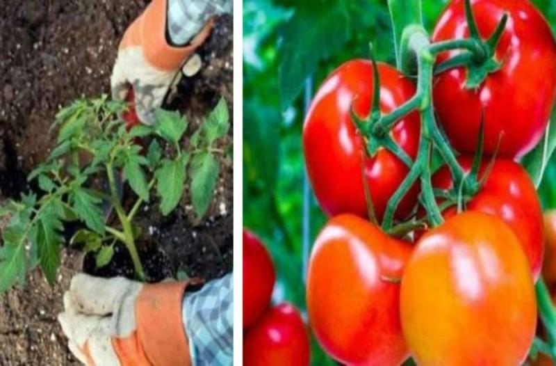 Ρίξτε το κέλυφος των αυγών στη φύτευση της ντομάτας - Θα μείνετε άφωνοι με αυτό που θα συμβεί