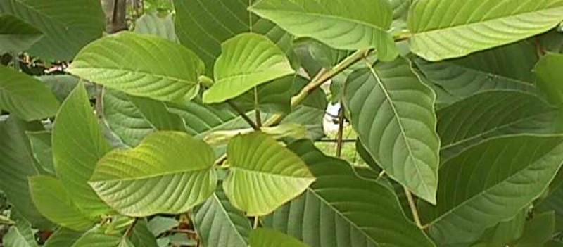 φυτό επαξάρτηση
