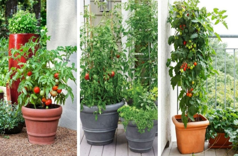 Φύτεψε δίπλα από τις ντομάτες του βασιλικό - Μόλις δείτε το λόγο θα μείνετε άφωνοι