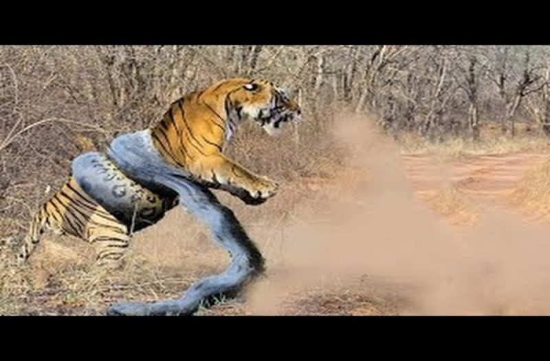 Πύθωνας κάνει αγκαλιά του θανάτου σε τίγρη…Το βίντεο κόβει την ανάσα