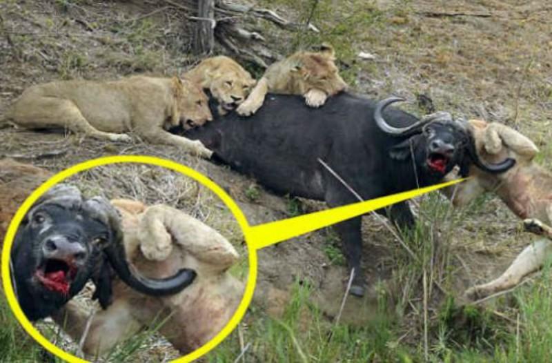 90 λεπτά μάχη ζωής και θανάτου - Λιοντάρι καρφώνεται στα κέρατα ενός βουβαλιού (Video)