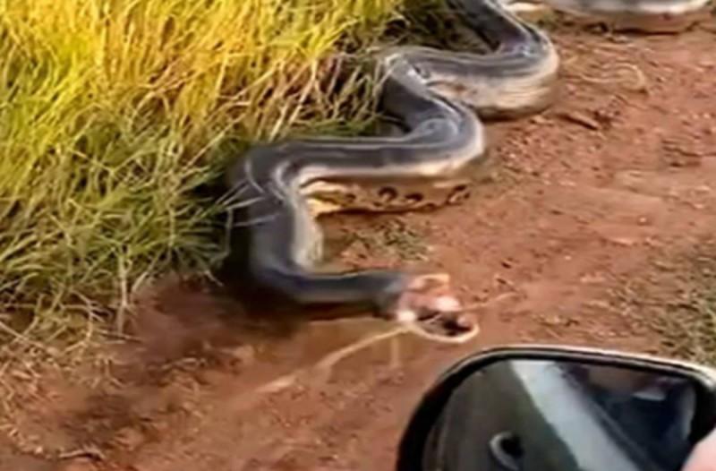 Τρόμος για ζευγάρι: Τεράστιο φίδι - ανακόντα επιτίθεται στο αυτοκίνητό τους! (video)