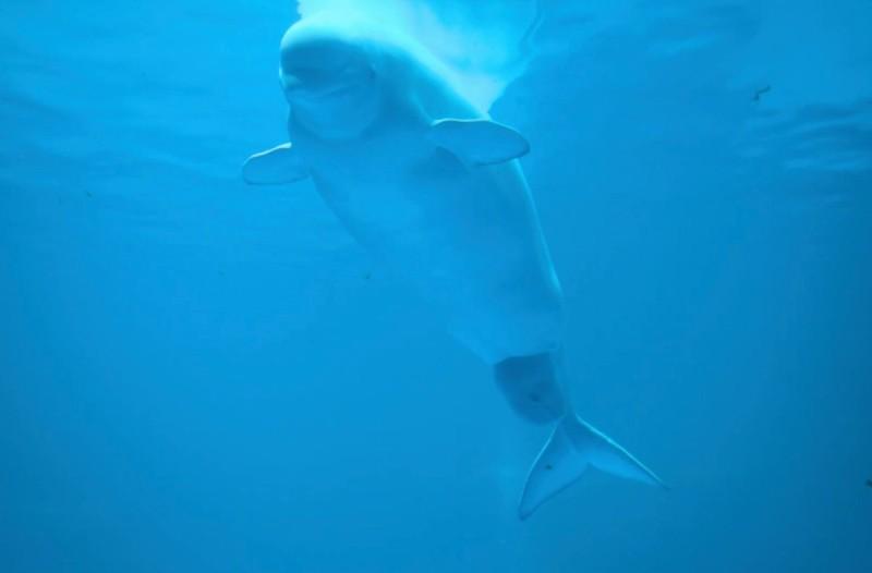 Φάλαινα γεννά σε ζωολογικό κήπο - Αυτό που συμβαίνει θα σας αφήνει άφωνους