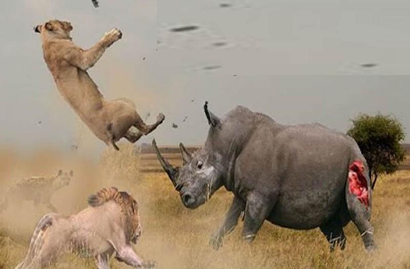 Πέντε εξαγριωμένα λιοντάρια επιτίθενται σε ένα ρινόκερο - Οι εικόνες κόβουν την ανάσα