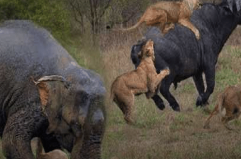 Μανιασμένος ελέφαντας όρμηξε σε λιοντάρια που κατασπάραζαν βουβάλι! (Video)