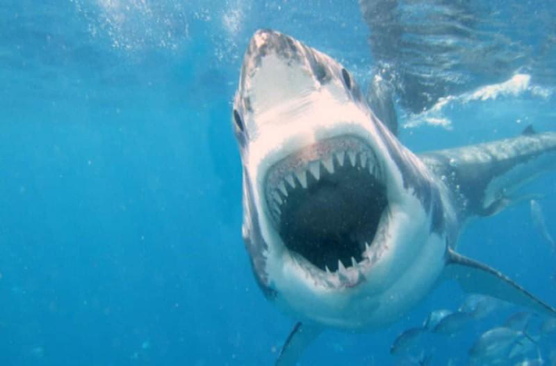 Ο απίστευτος λόγος που ο λευκός καρχαρίας δεν υπάρχει σε κανένα ενυδρείο στον κόσμο