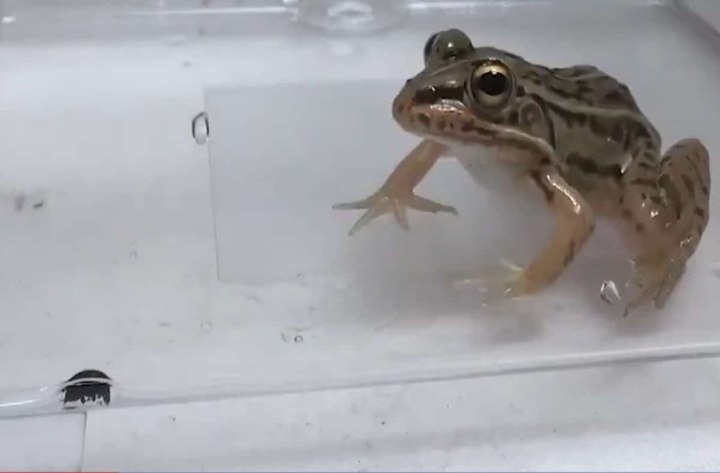 Βάτραχος καταπίνει αυτό το σκαθάρι και μετά... - Θα πάθετε πλάκα μόλις δείτε τι γίνεται στο σώμα του