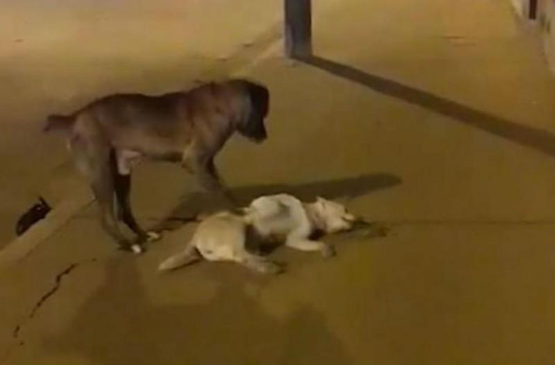Σπαρακτική σκηνή: Σκύλος προσπαθεί να επαναφέρει στη ζωή φίλο του που τον χτύπησε αυτοκίνητο (Video)