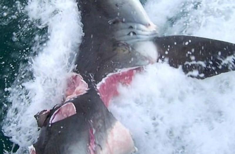 Βίντεο που σοκάρει: Τεράστιοι καρχαρίες κατασπαράζουν ο ένας τον άλλον
