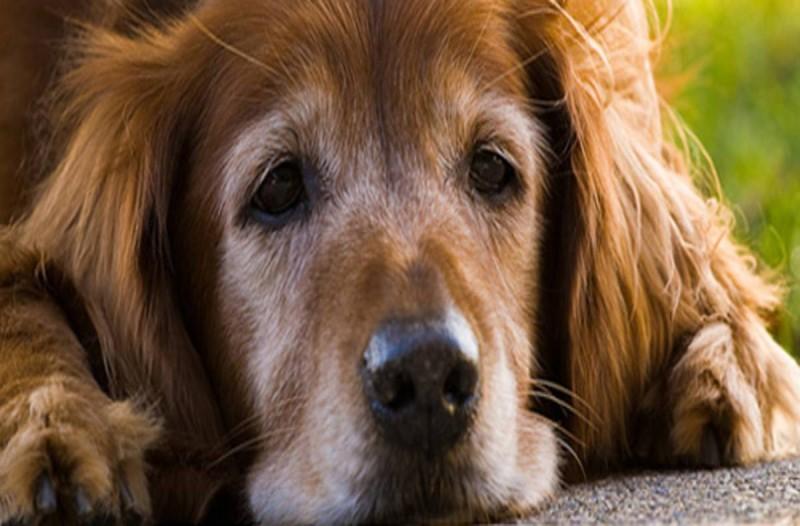 8 σημάδια που δείχνουν ότι ο σκύλος σας πλησιάζει στο τέλος του