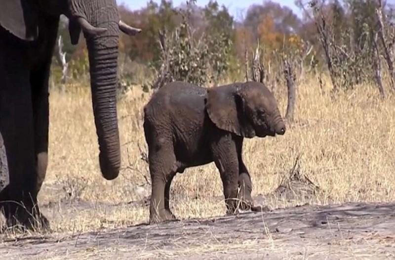 Ελεφαντάκι γεννήθηκε χωρίς προβοσκίδα