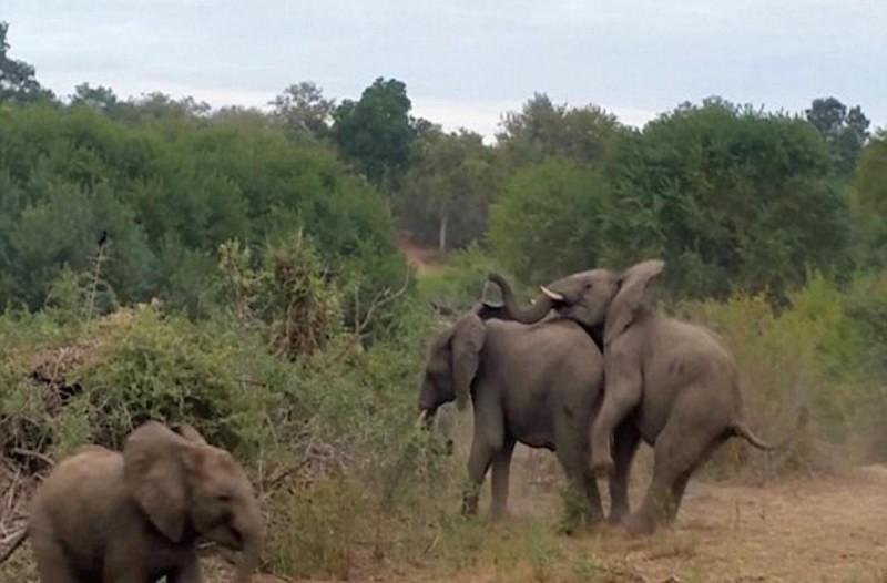 Ελέφαντας πάει να ζευγαρώσει αλλά εκείνη τη στιγμή... (Video)