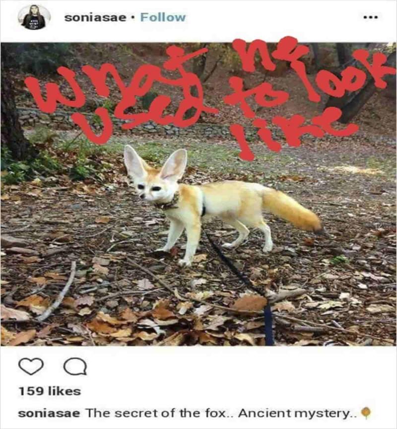 Παραμορφωμένη αλεπού επειδή δεν έτρωγε κρέας