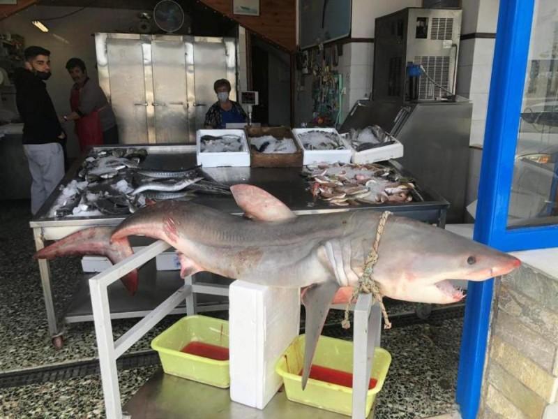 Καρχαρίας 75 κιλών πιάστηκε στη Νάξο