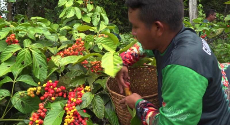 Το γκουαρανά,  είναι το φρούτο με περισσότερη καφεΐνη από τον καφέ