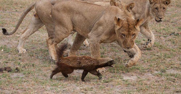 Σκοτώνει τίγρεις, λιοντάρια και αρκούδες, τρέφεται με δηλητηριώδη φίδια!