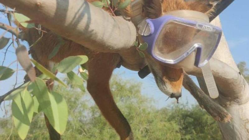 Κτηνωδία στο Σχινιά Αττικής: Νεκρή αλεπού με κομμένη ουρά πάνω σε δέντρο με μάσκα και αναπνευστήρα!