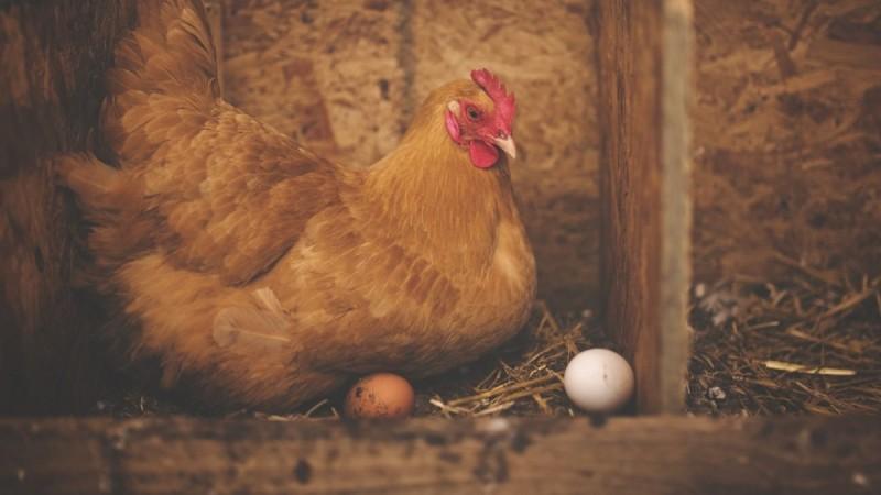 Η κότα έκανε το αυγό ή το αυγό την κότα; Ένας επιστήμονας τεκμηριώνει την απάντηση και λύνει το γρίφο