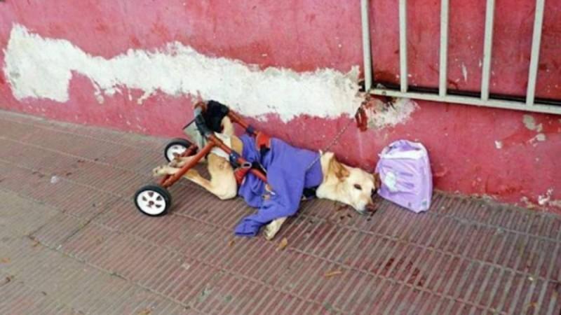 Παράλυτος σκύλος με τις πάνες και την σπασμένη αναπηρική καρέκλα του εγκαταλείπεται στο δρόμο (Photo)