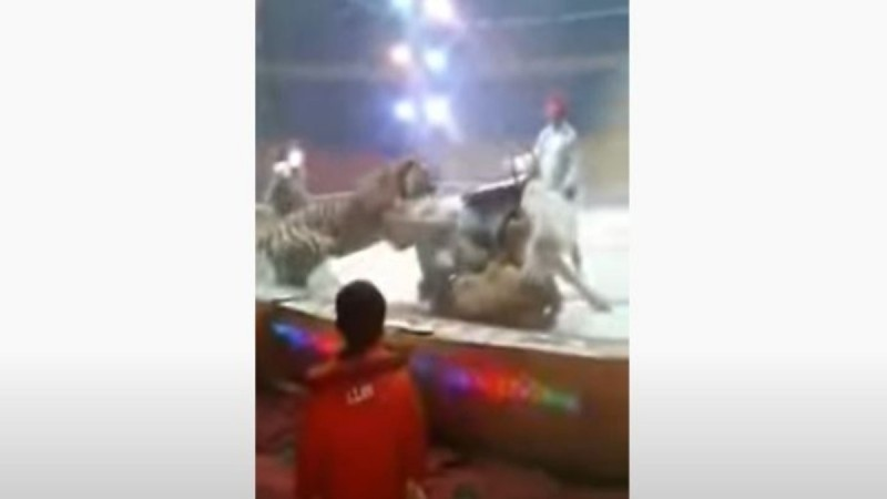 Ένα λιοντάρι και μια τίγρη κάνουν επίθεση σε άλογο μέσα σε τσίρκο - Η συνέχεια θα σας εξοργίσει