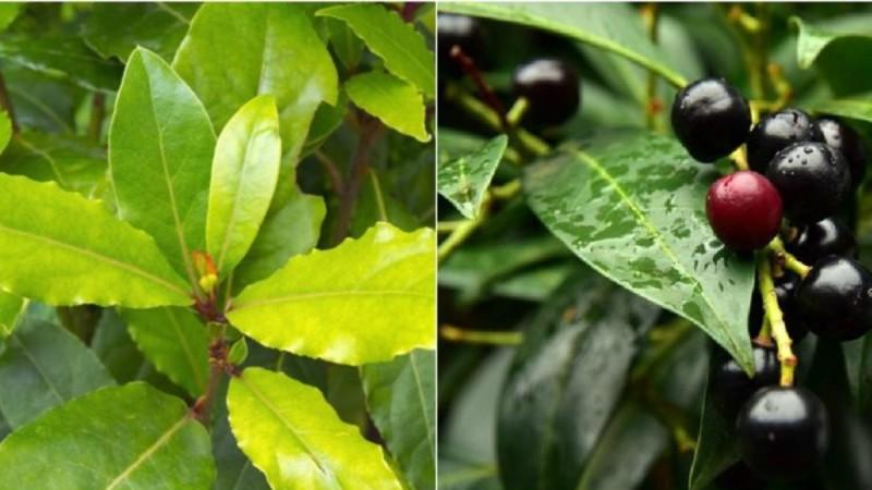Πώς τα φύλλα δάφνης θα σας βοηθήσουν να διώξετε πόνους στις αρθρώσεις, έλλειψη μνήμης, πονοκεφάλους και φλεβίτιδα
